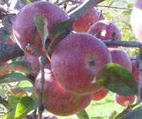 Apples from Wilson's Orchard